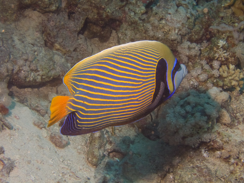 Photo at Shark & Yolanda Reefs:  Emperor Angelfish