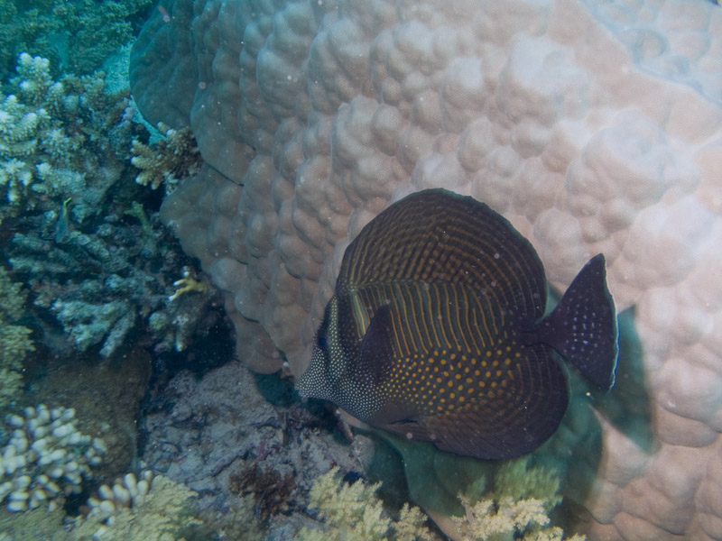 Photo at Shark & Yolanda Reefs:  Sailfin tang
