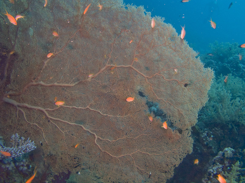 Photo at Ras Ghazlani:  Gorgonian Sea Fan