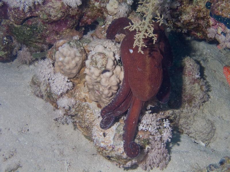 Photo at Ras Ghazlani:  Reef Octopus