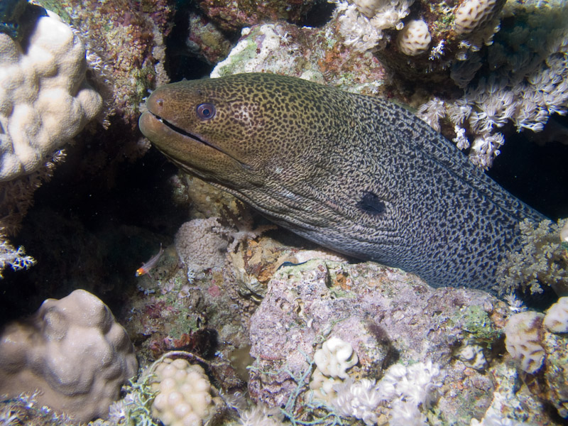 Photo at Ras Ghazlani:  Undulated moray