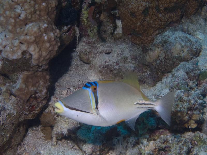 Photo at Thomas Reef:  Picasso triggerfish