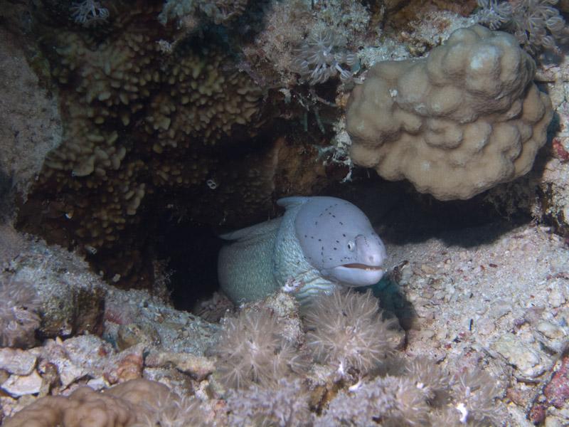 Photo at Thomas Reef:  Geometric moray