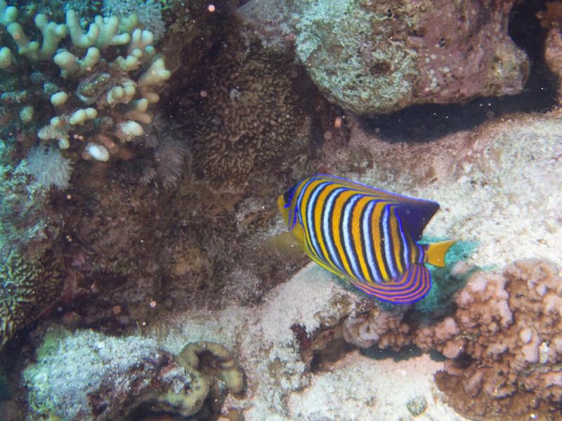 Photo at Thomas Reef:  Royal angelfish