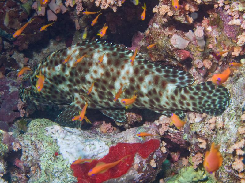 Photo at Thomas Reef:  Greasy grouper