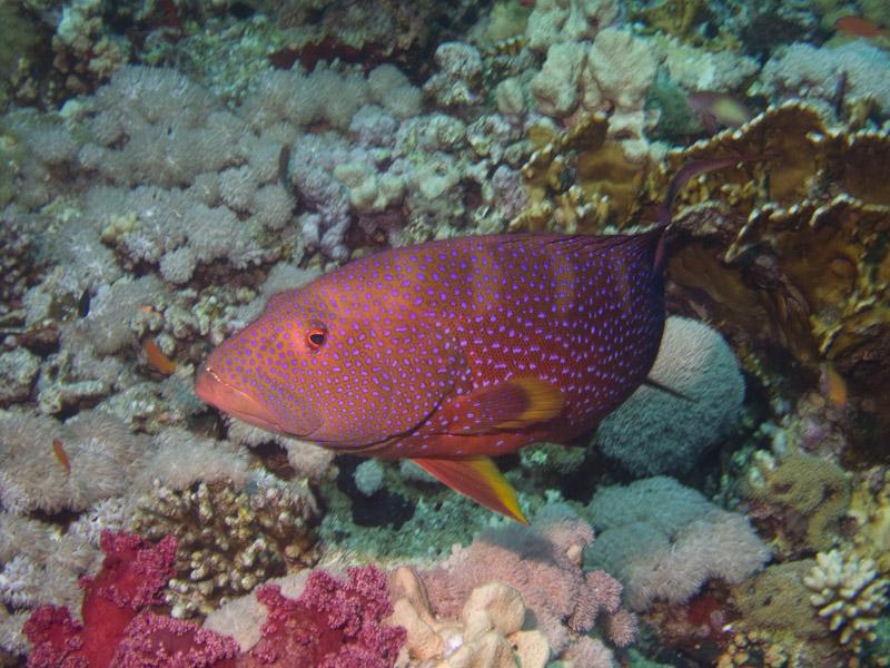 Photo at Thomas Reef:  Yellow-edged lyretail