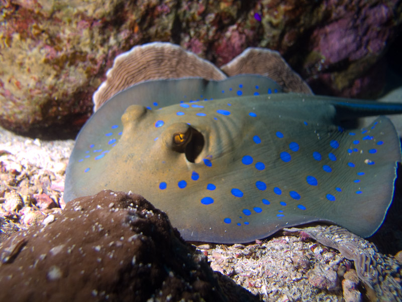 Photo at Thomas Reef - North side:  Bluespotted ribbontail ray