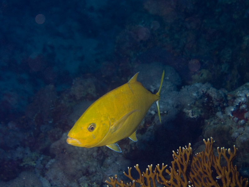 Photo at Thomas Reef - North side:  Orangespotted trevally