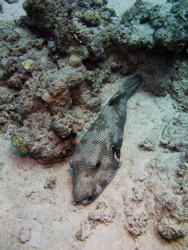 Photo at Temple:  Starry toadfish