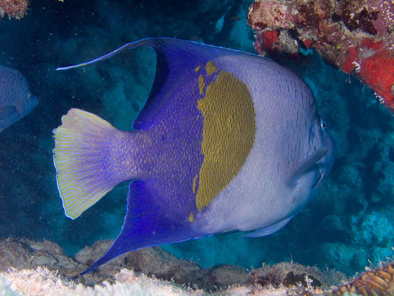 Photo at Temple:  Yellowbar angelfish