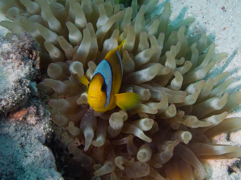 Photo at Temple:  Twoband anemonefish