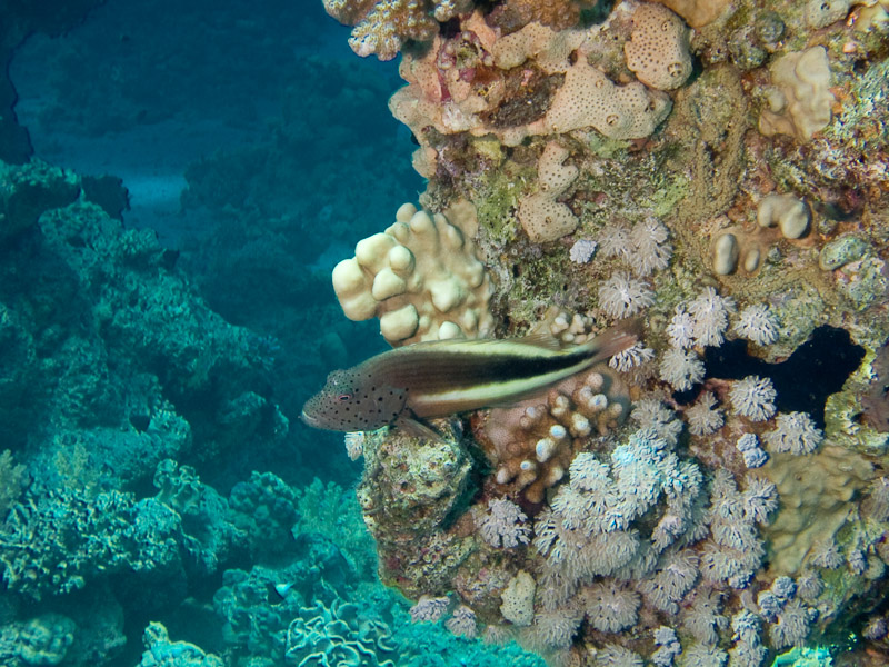 Photo at Temple:  Blackside hawkfish