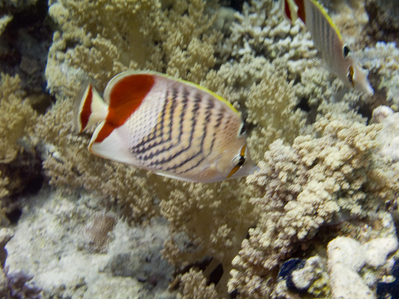 Photo at Temple:  Eritrean butterflyfish