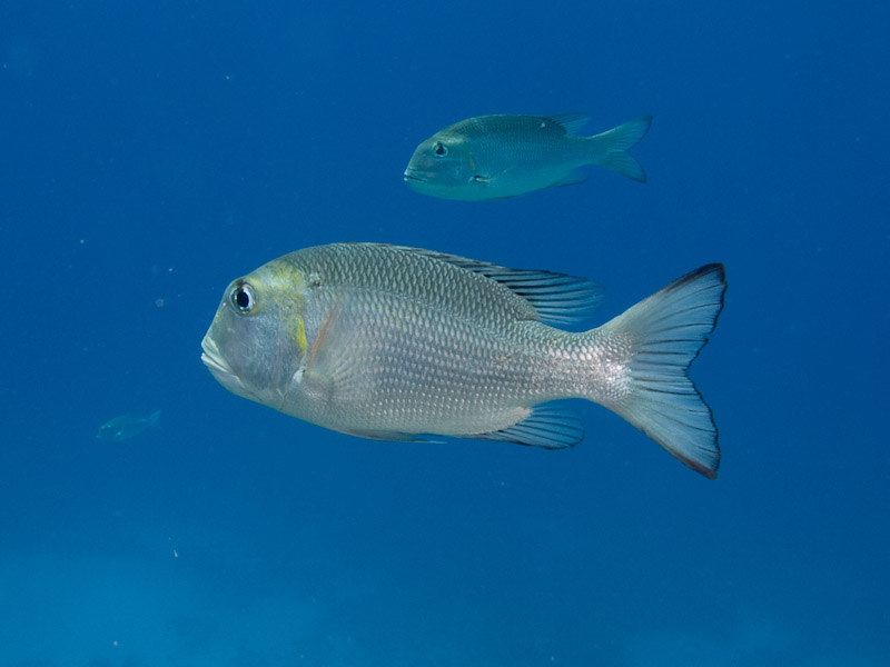 Photo at Temple:  Humpnose big-eye bream