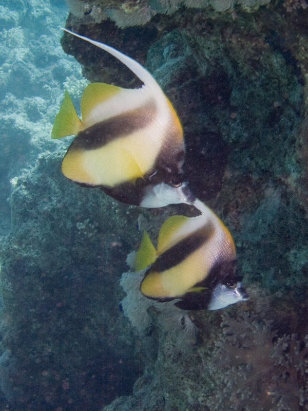 Photo at Temple:  Red Sea bannerfish
