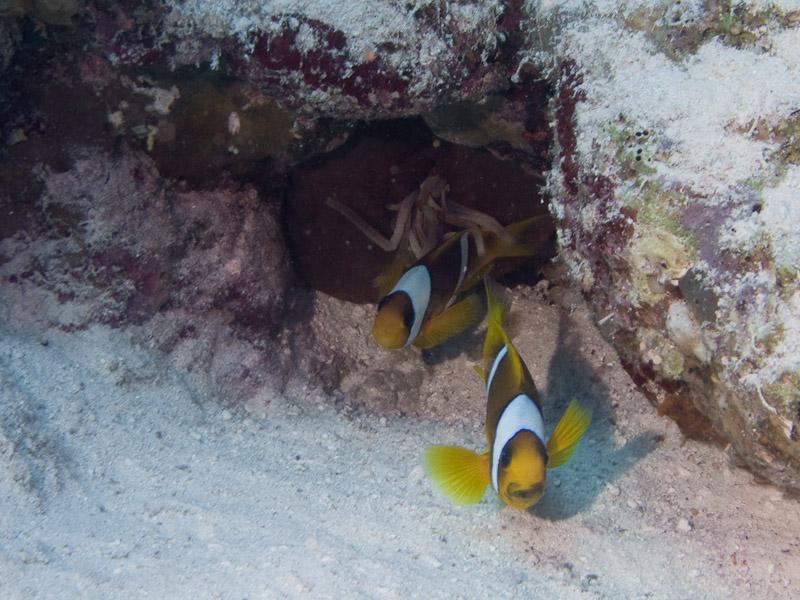 Photo at Near Garden:  Twoband anemonefish