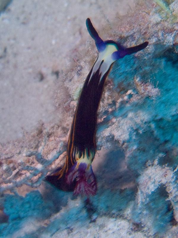 Photo at Near Garden:  Red Sea nembrotha