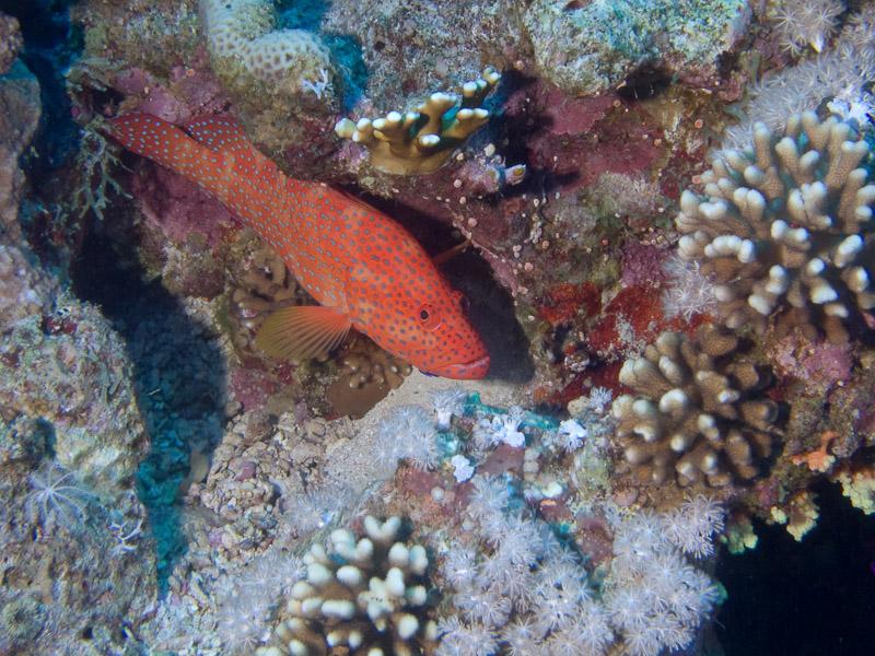 Photo at Thomas Reef:  Coral hind