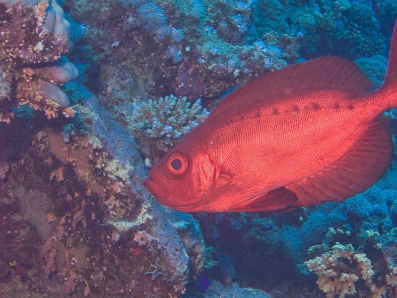 Photo at Thomas Reef:  Moontail bullseye