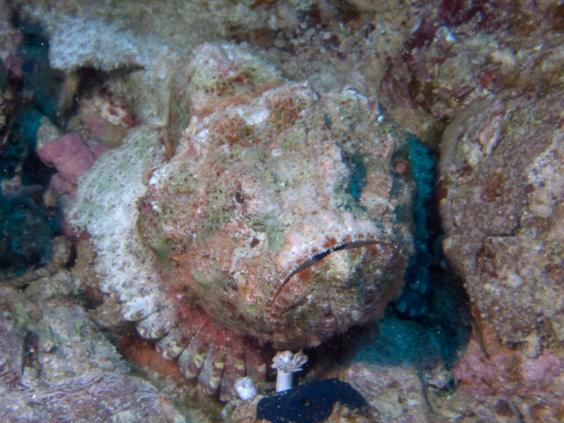 Photo at Thomas Reef:  False stonefish