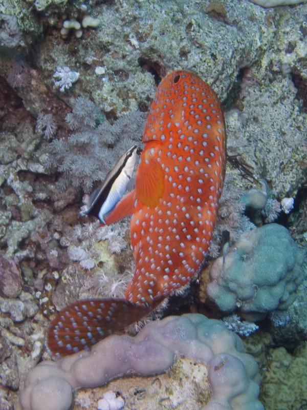 Photo at Thomas Reef:  Bluestreak cleaner wrasse,Coral hind