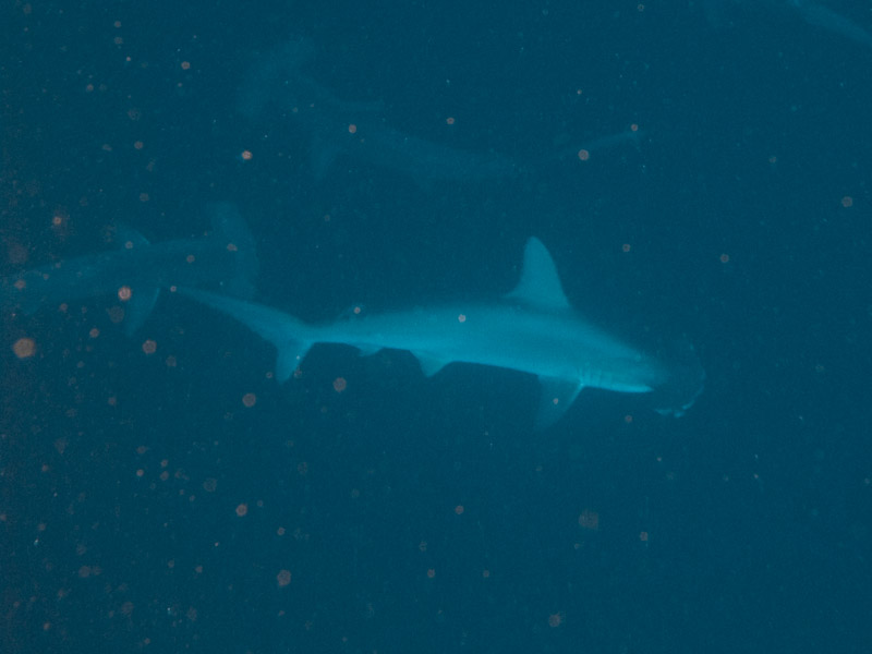 Photo at Jackson Reef:  Scalloped hammerhead