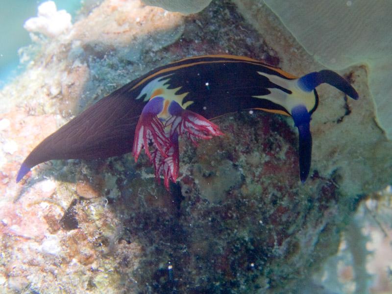 Photo at Ras Ghazlani:  Red Sea nembrotha