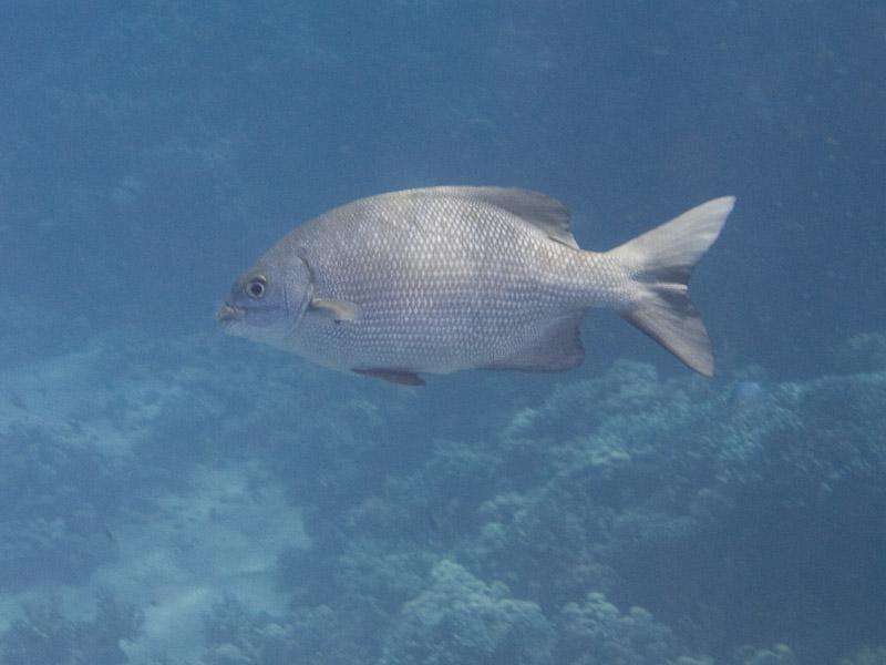 Photo at Ras Ghazlani:  Blue seachub