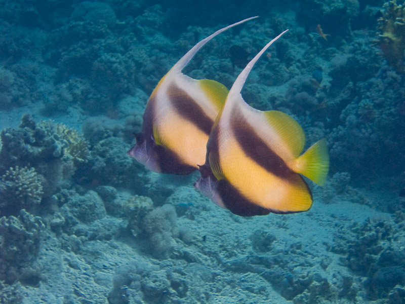 Photo at Shark & Yolanda Reefs:  Red Sea bannerfish