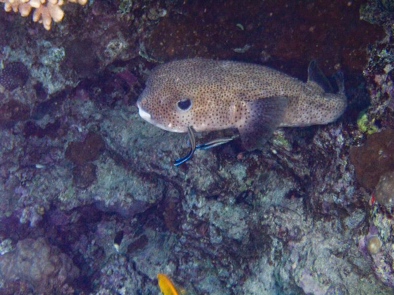 Photo at Shark & Yolanda Reefs:  Spot-fin porcupinefish ('Balloonfish')
