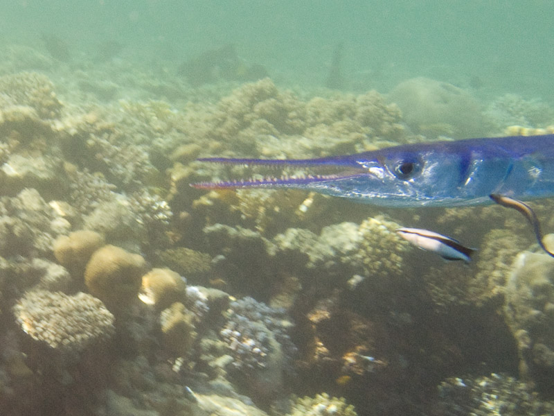 Photo at Shark & Yolanda Reefs:  Needlefish