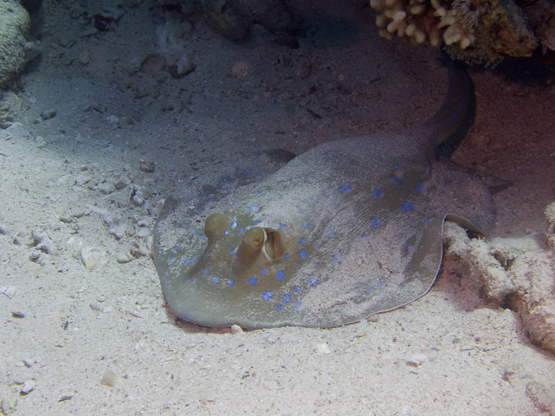 Photo at Jackson Reef:  Bluespotted ribbontail ray