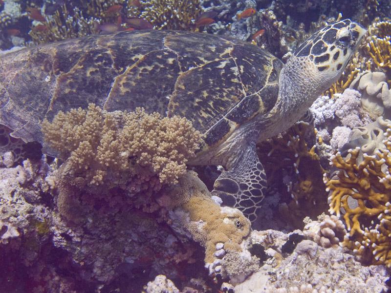 Photo at Jackson Reef:  Hawksbill Turtle