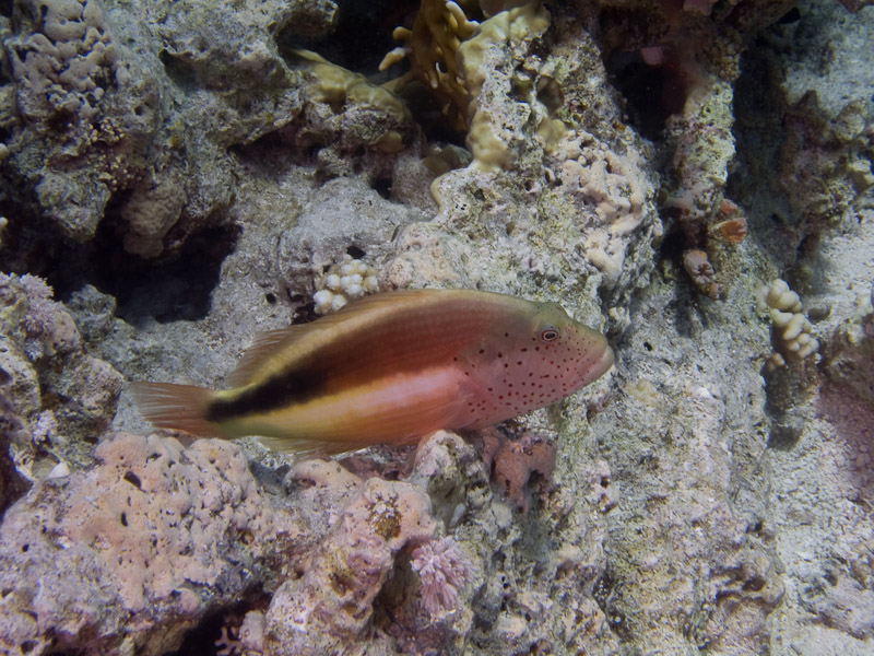 Photo at Jackson Reef:  Blackside hawkfish