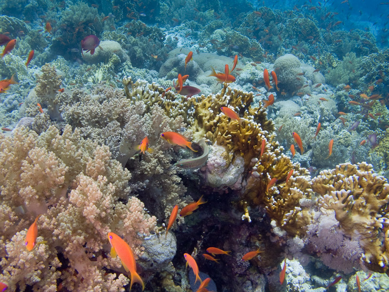 Photo at Jackson Reef:  Sea goldie