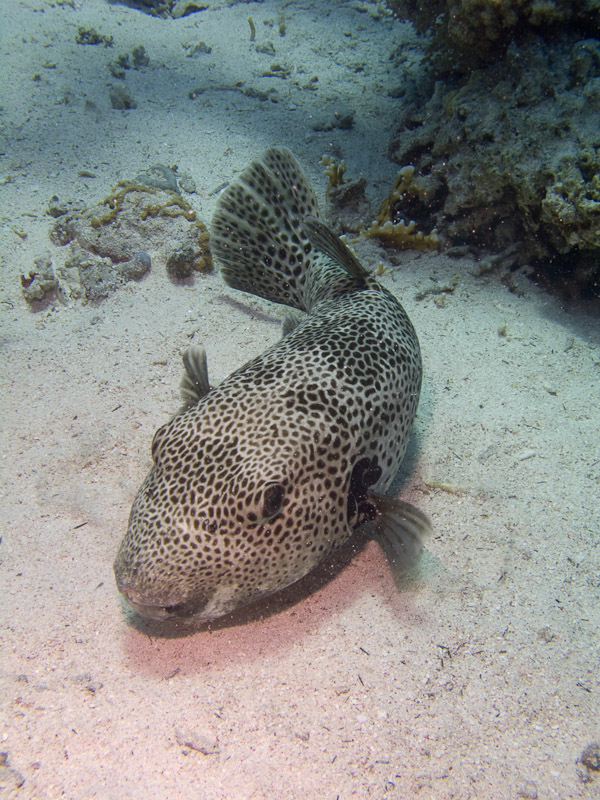 Photo at Jackson Reef:  Starry toadfish