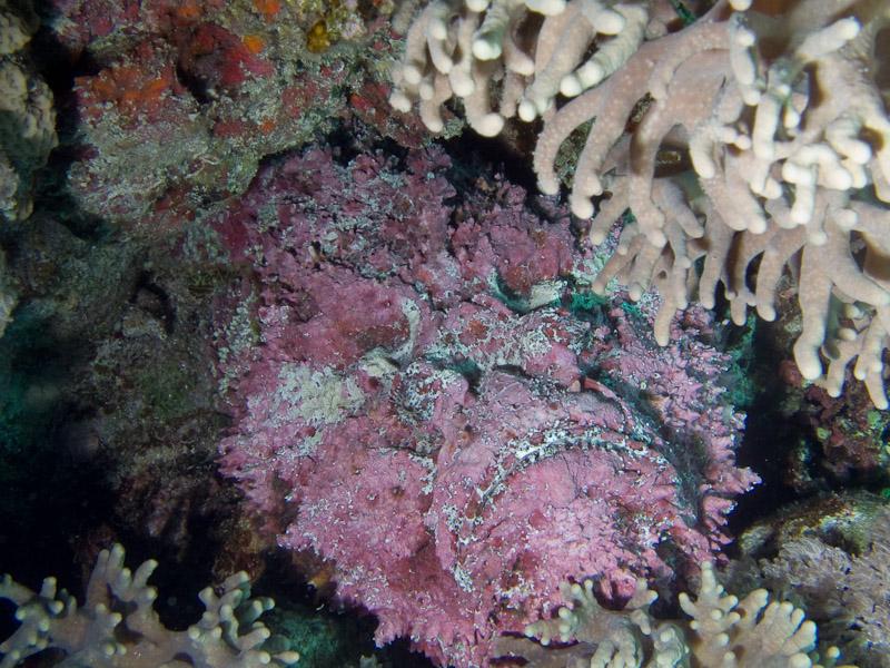 Photo at Jackson Reef:  Stonefish