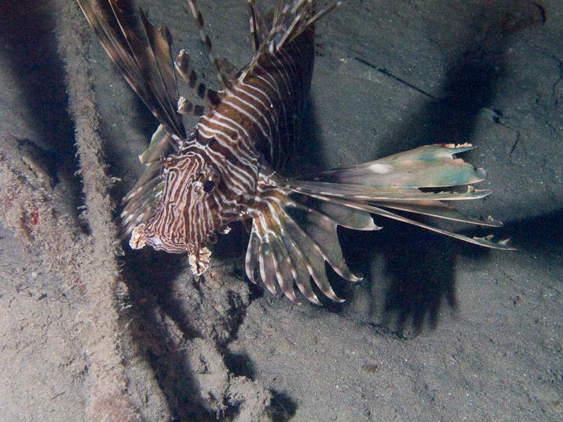 Photo at Movenpick Reef:  Devil firefish