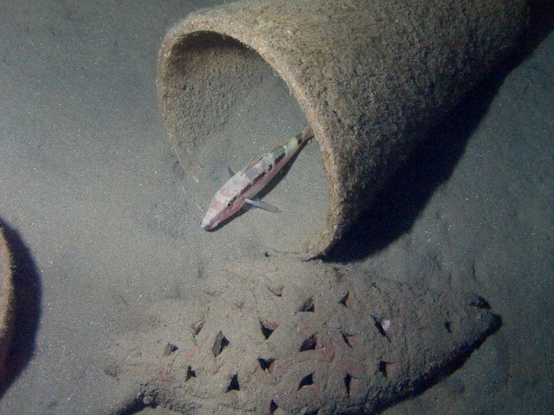 Photo at Movenpick Reef:  Red Sea goatfish