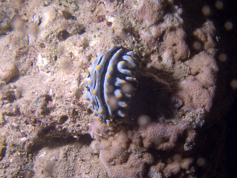 Photo at Movenpick Reef:  Varicose wart slug