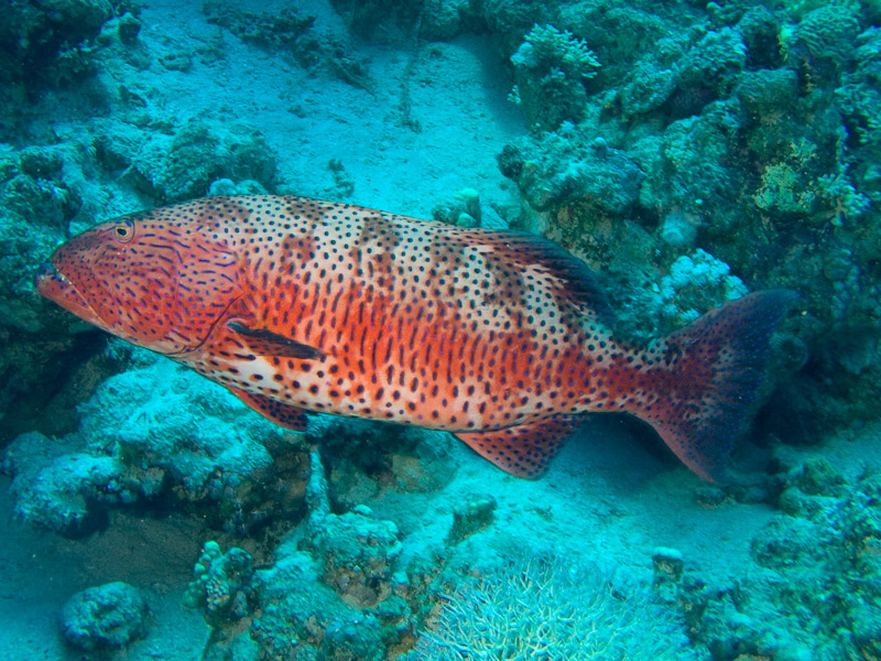 Photo at Jackfish Alley:  Red Sea coralgrouper