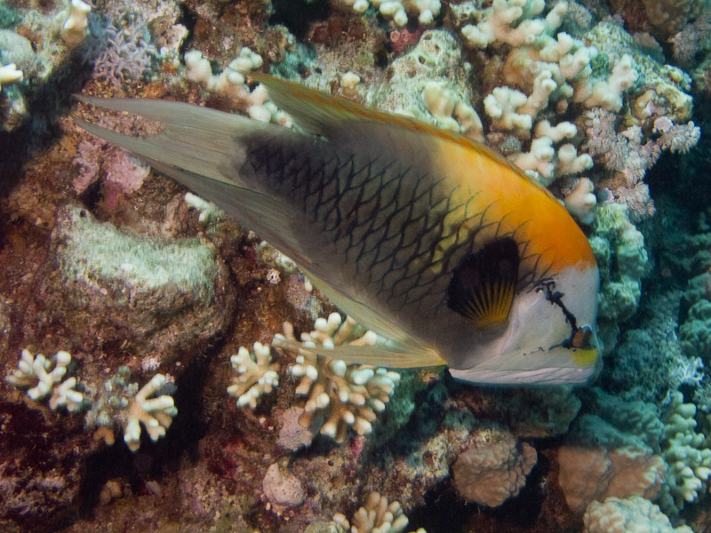 Photo at Jackfish Alley:  Slingjaw wrasse