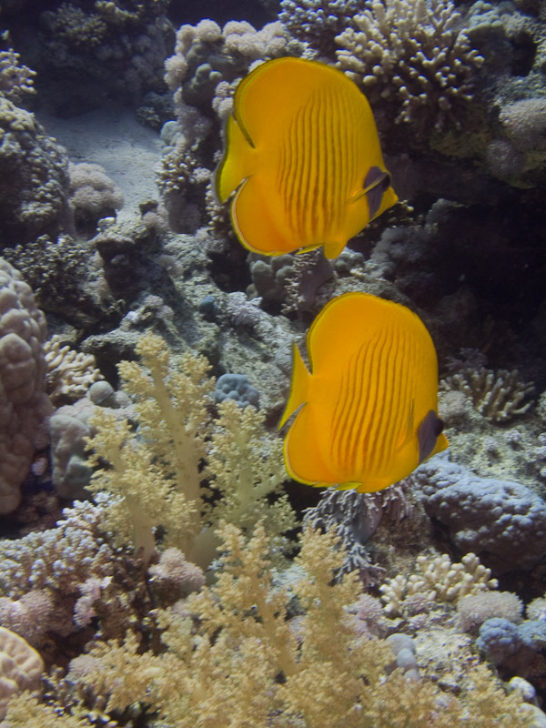 Photo at Jackfish Alley:  Bluecheek butterflyfish