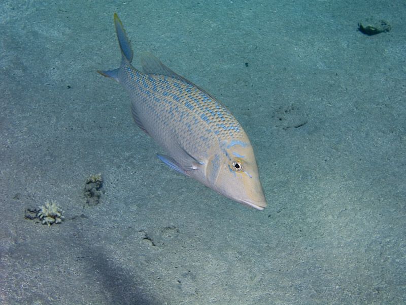 Photo at Jackfish Alley:  Spangled emperor