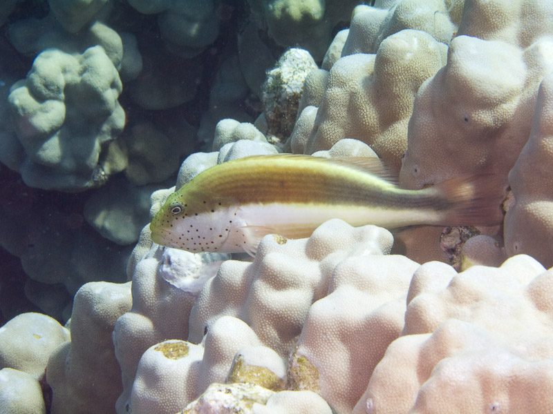 Photo at Jackfish Alley:  Blackside hawkfish