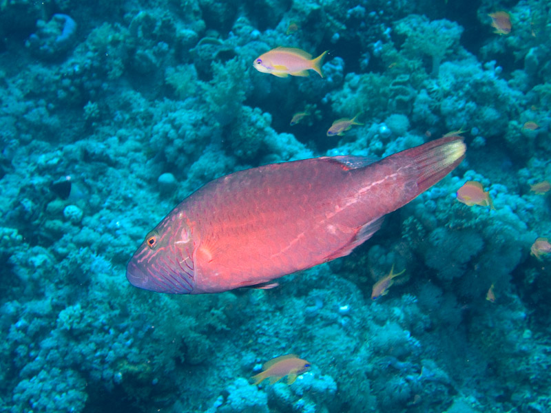 Photo at Shark & Yolanda Reefs:  Cheeklined wrasse