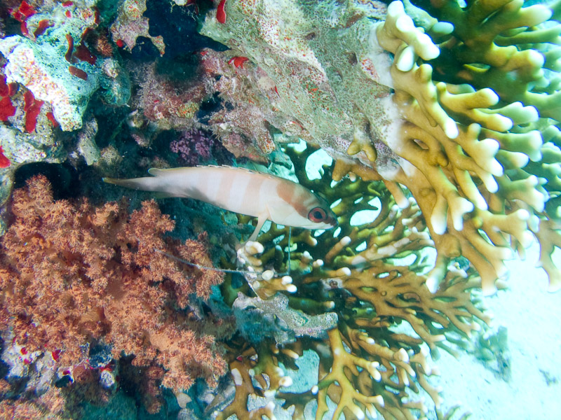 Photo at Shark & Yolanda Reefs:  Blacktip grouper