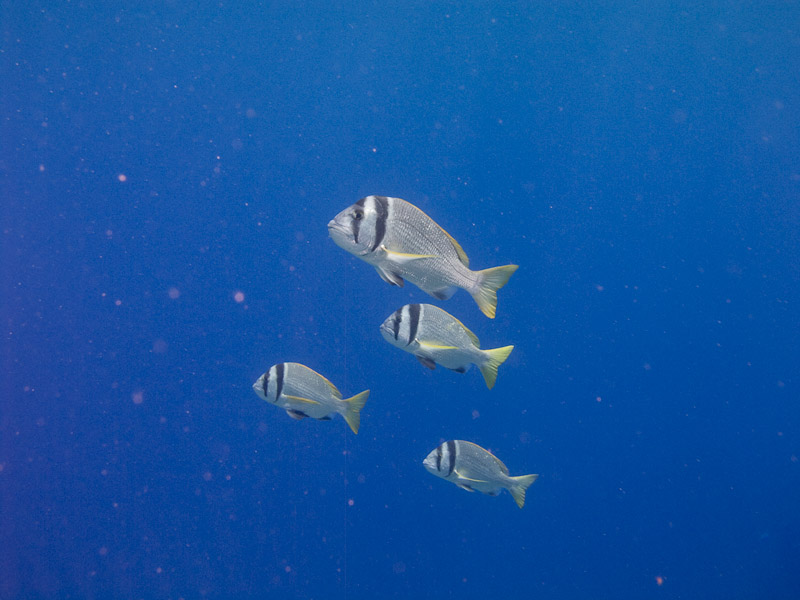 Photo at Ras Ghazlani:  Twobar seabream