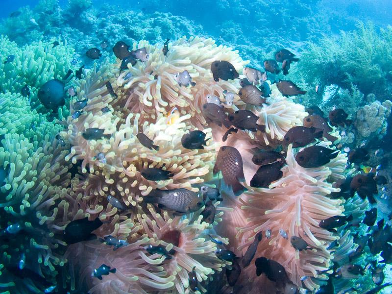 Photo at Shark & Yolanda Reefs:  Threespot dascyllus