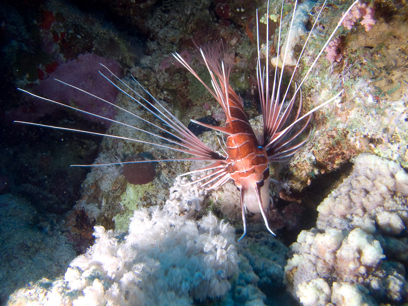 Photo at Shark & Yolanda Reefs:  Radial firefish